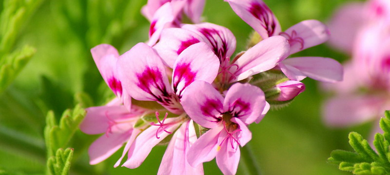 Chinese Geranium Oil